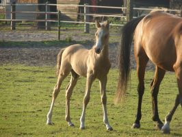foal stock 3 by horse-power