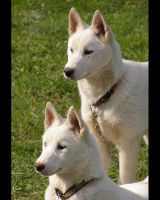Siberian husky puppies xxxbbx by Pawkeye