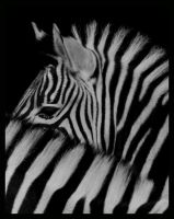 zebras by morho