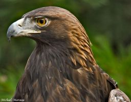 Golden Eagle by Uberdadeh