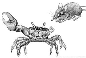 Fiddler Crab and Elephant Shrew by libellchen