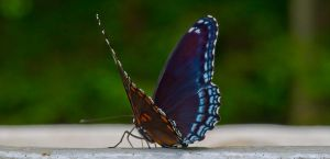 .spicebush swallowtail. by onejumpjohnny