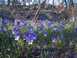 Wild violets I by diamondie-stock