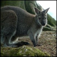 Wallaby by moonduster