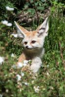 Curious Fennec by ChristopherMarx