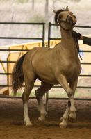 STOCK - 2014 Welsh QLD Show-58 by fillyrox
