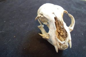 Bobcat Skull by TheNewCoyote