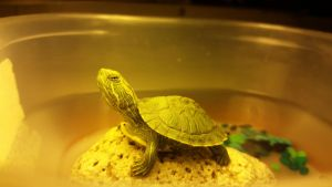 My Baby Turtle Lucifer by geny-evilgoth16