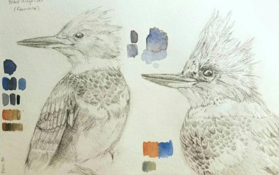 Belted Kingfisher pencil sketches by Lena-ru5