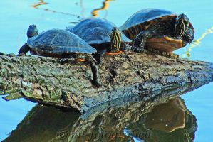 Turtles in the sun by MT-Photografien
