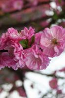 Almond blossom by Jasy83
