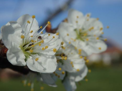 Spring Blossom 2 by tinuvielluthien