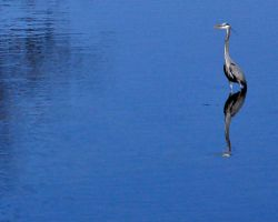 heron reflection by siobhanleigh