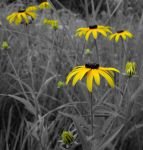Brown-Eyed Susan in Touch of Color by AlgeriArts