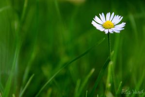 Daisy by FilipVanek
