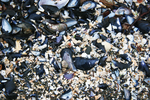 mussel texture 2 by An-Mochi