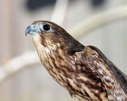 Merlin Falcon by cindy1701d
