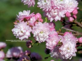 Flowering Almond by JamDebris