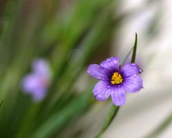 Blue Eyed Grass by 1001G