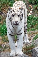 White Tigress by brijome