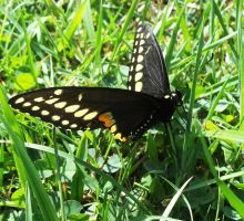 Swallowtail Butterfly by AppleBlossomGirl
