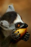 Ring Tailed Lemur by jemapellenicoletta