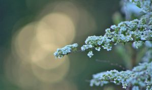 Bridal Wreath Sunlight Bokeh by Photolover68
