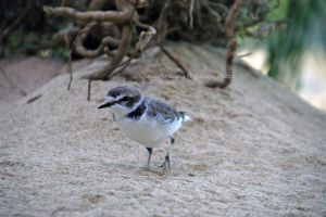 Snowy Plover 1 by MorrighanGW