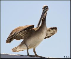 Pelican on the Roof by cokehead666