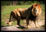 Simon African Male Lion by charfade