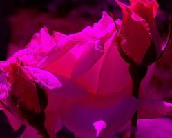 Pink roses in the dark by DragonLarme