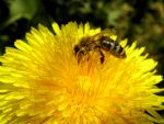 bee and dandelion by Mittelfranke