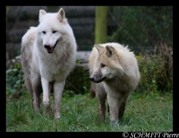 Arctic wolf and puppy by Kiba67