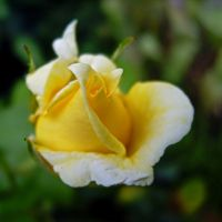 Yellow Rose (2) by Paul774