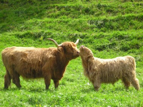 Highland Cows Love by maroon83