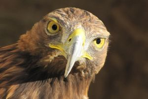 Golden Eagle by jess26gorillaz