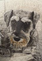 Jack the Miniature Schnauzer by xmaryxedgex