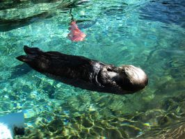 Sea Otter 12 -- Sept 2009 by pricecw-stock