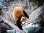 Red Panda 002 by PlasticSparkPhotos