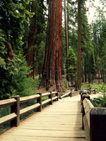 Bridge to Sequoia by livdrummer