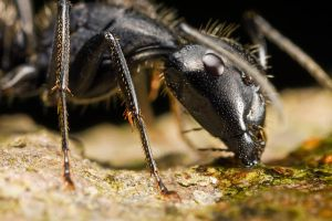 Carpenter Ant at 3x by dalantech
