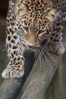 2794 - Persian leopard by Jay-Co