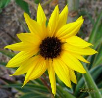 Prairie Sunflower by RavingEagleMedia