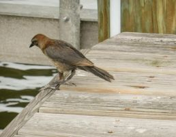 Grackle 1 by BlueMoon30