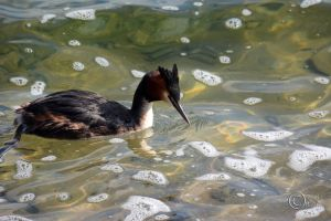 Great Crested Grebe 01 by pduffill