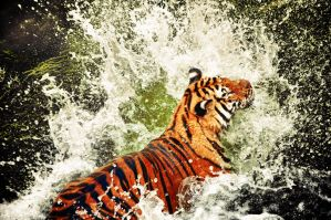 Bathing Tiger by DANIELMRK