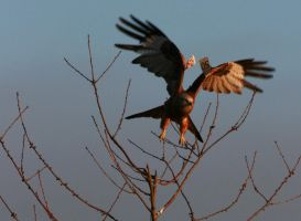 Red Kite by Ubhejane