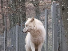 White wolf looking back standing Stock by AngelSTOCK22