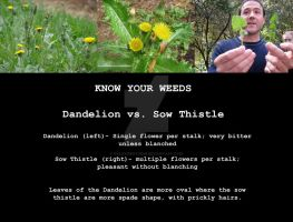 Know your weeds- Dandelion vs. Sow Thistle by ValkyrieOfODIN