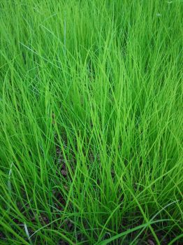 Lev's Green Grass by fontry